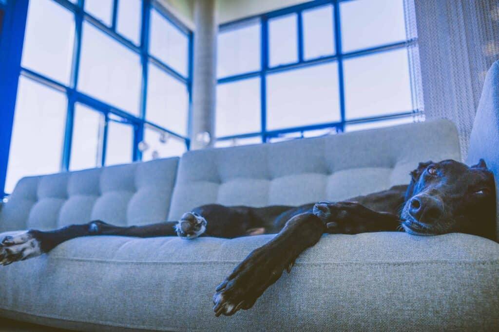 Hund auf Sofa bei TV Licht