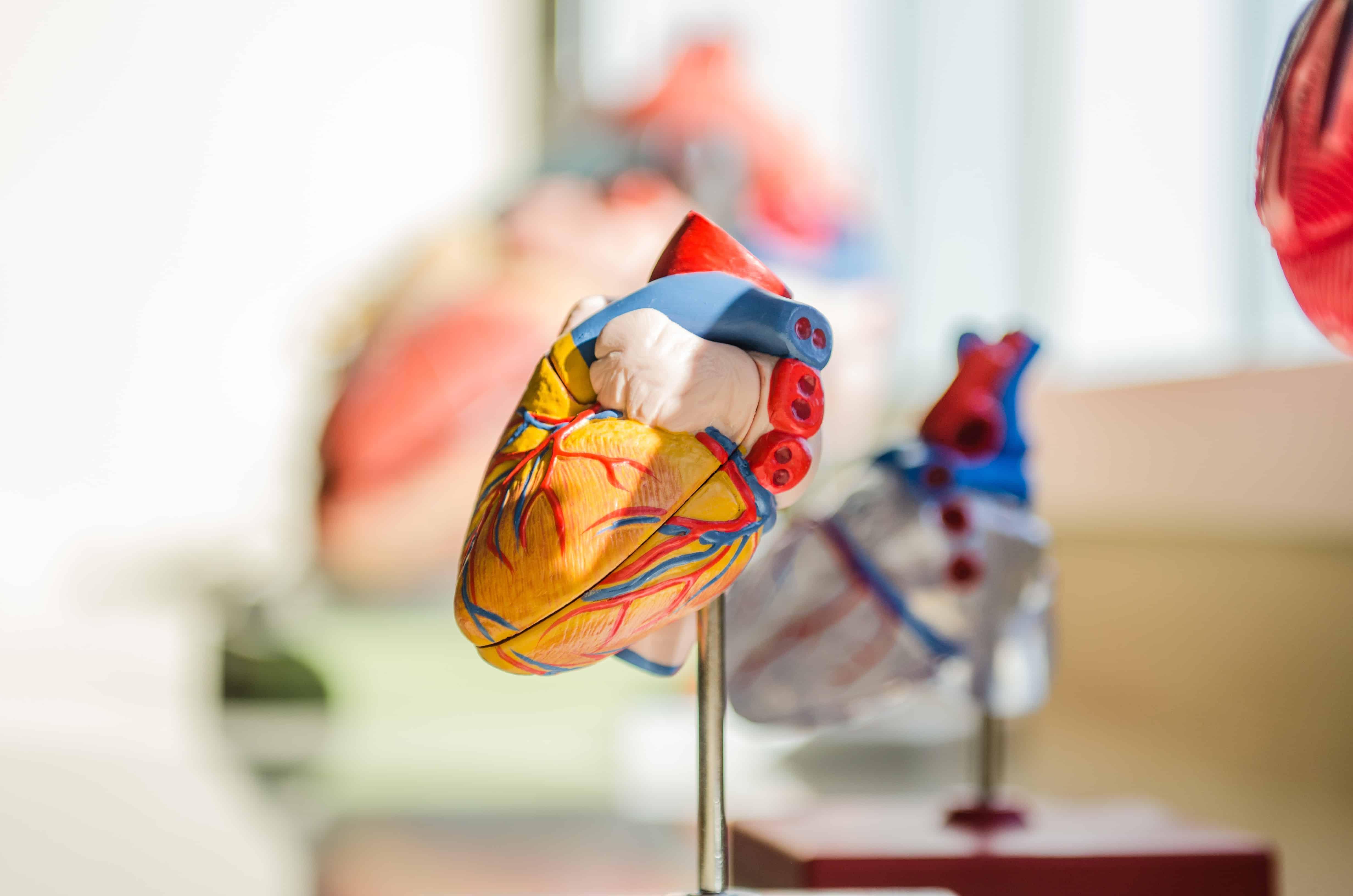Modell Herz